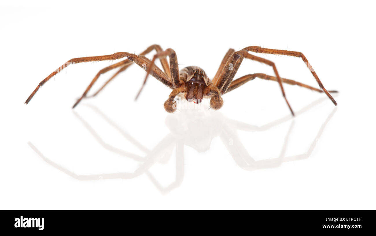 rendered photo of a nursery web spider on a white background - Stock Image