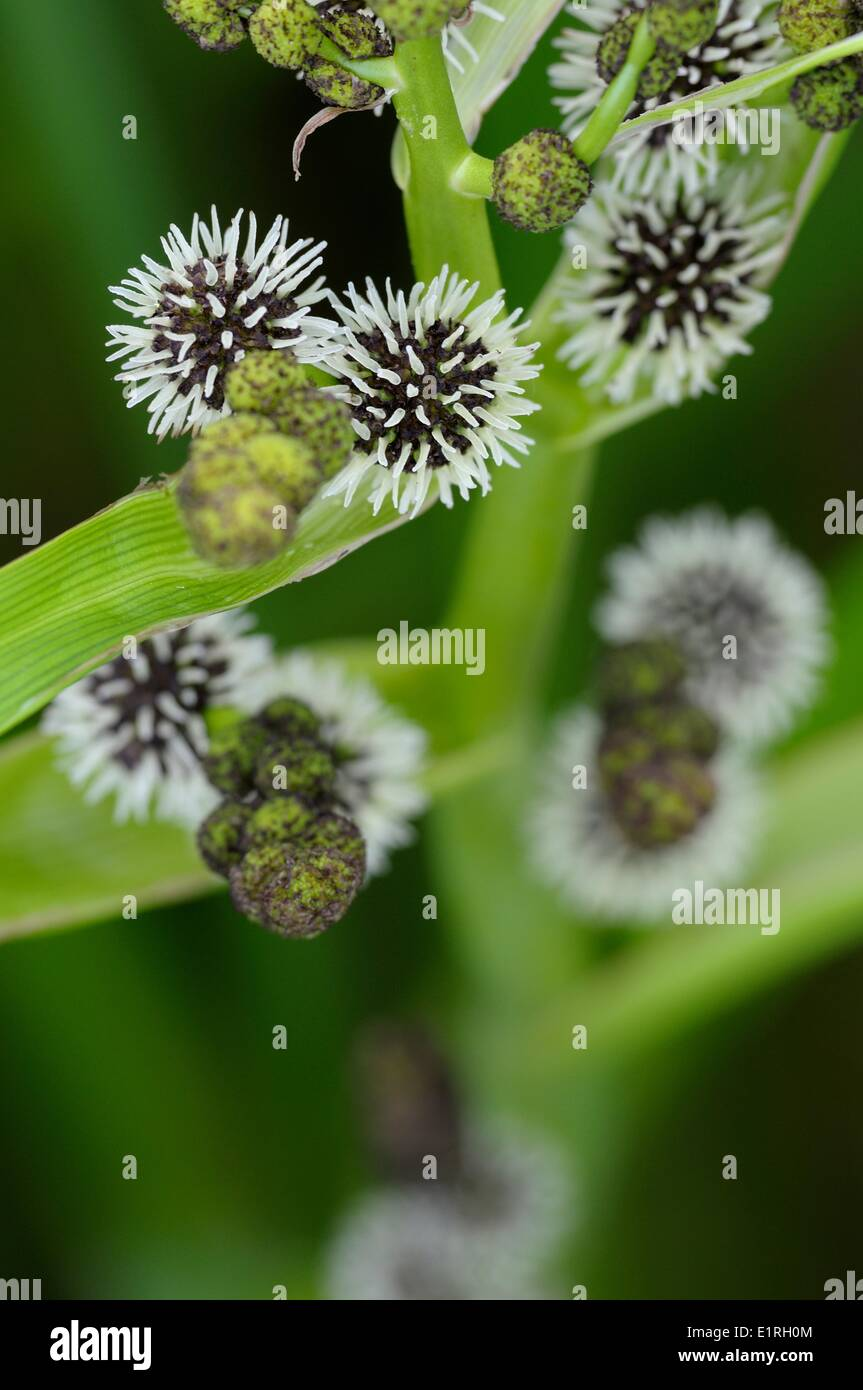 Budding Branched Bur-reed flowers - Stock Image