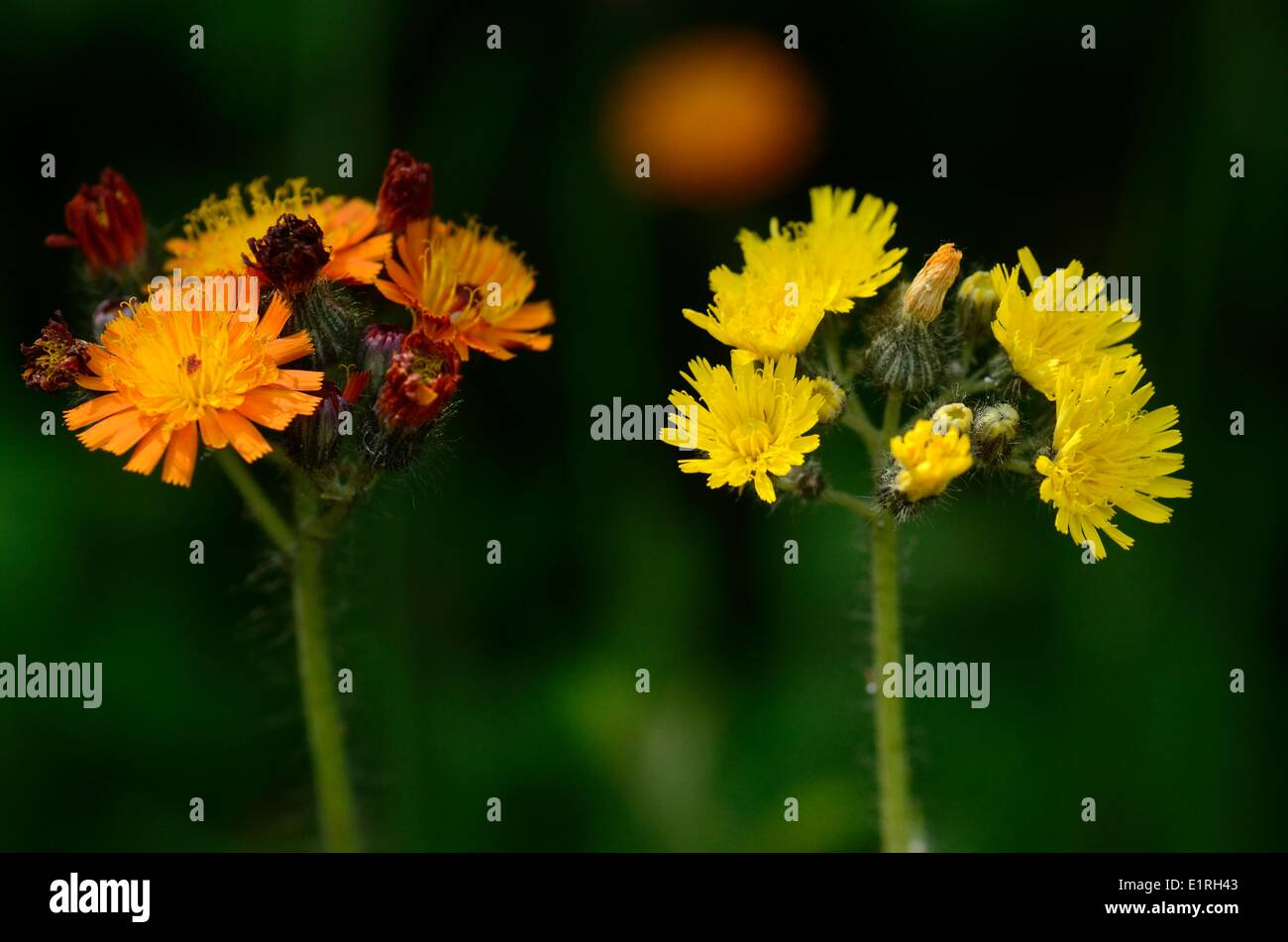 Inflorescence of Meadow Hawkweed besides the inflorescence of Orange Hawkweed - Stock Image
