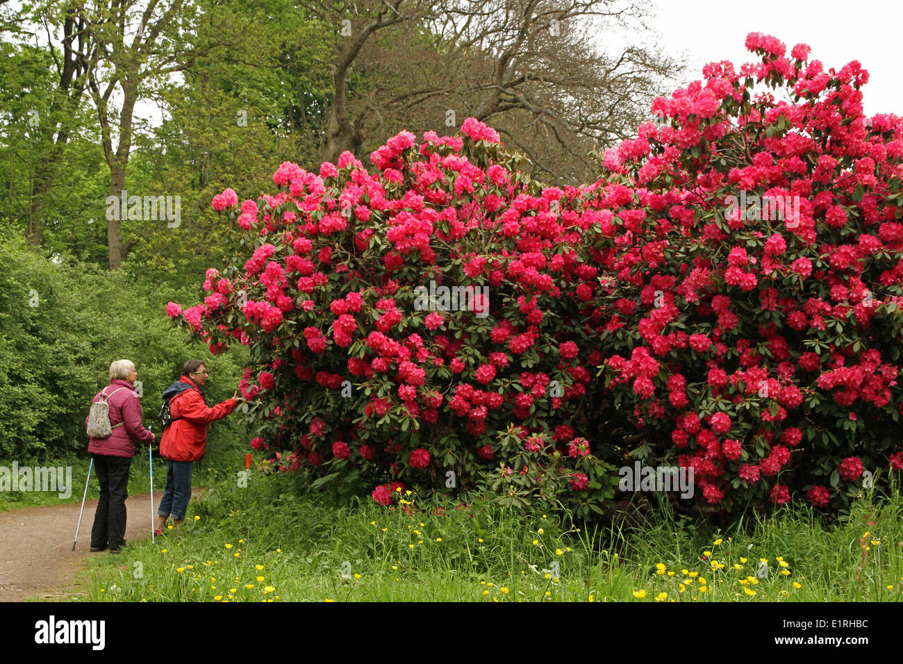 Hikers next to huge and rich flowering rhododendron - Stock Image