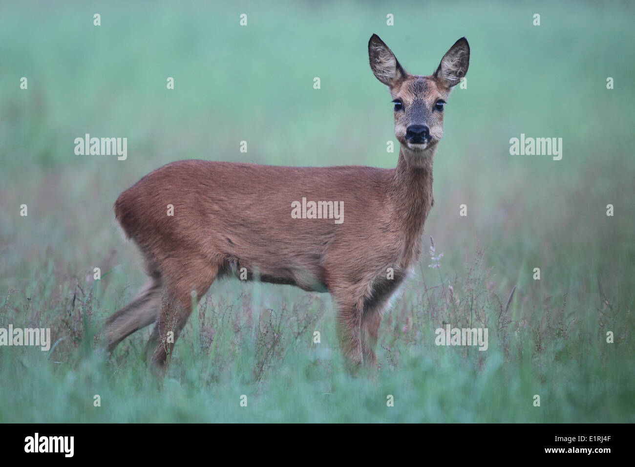 curious and cautious roe deer. - Stock Image