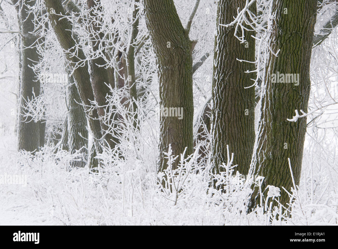 Poplars in snowy landscape covered in snow and hoar frost Stock Photo