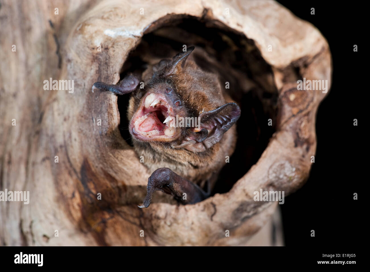 Lesser noctule bats slightly smaller than Common Noctule It has length 48 to 68 mm (head body) wingspan 260 to 330 mm forearm - Stock Image