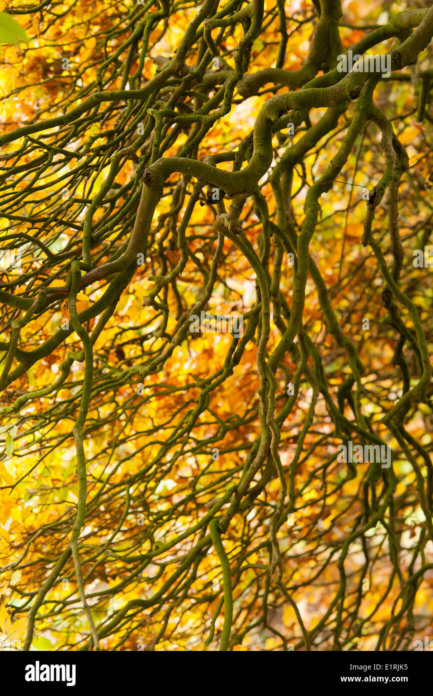 Coiling branches of beech trees in autumn - Stock Image