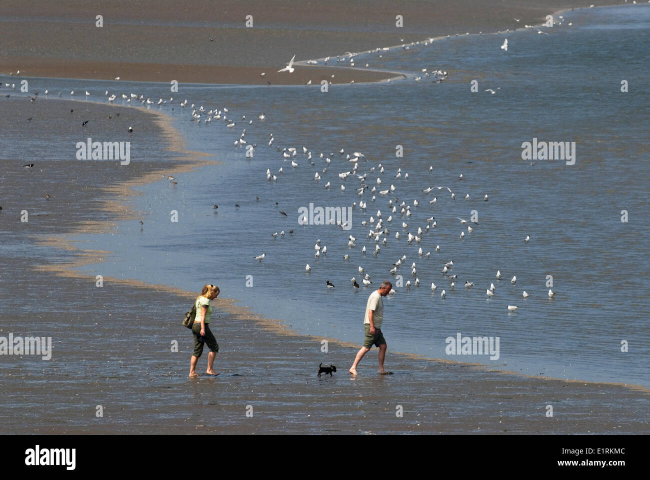 disturbance of birds by people walking their dog - Stock Image