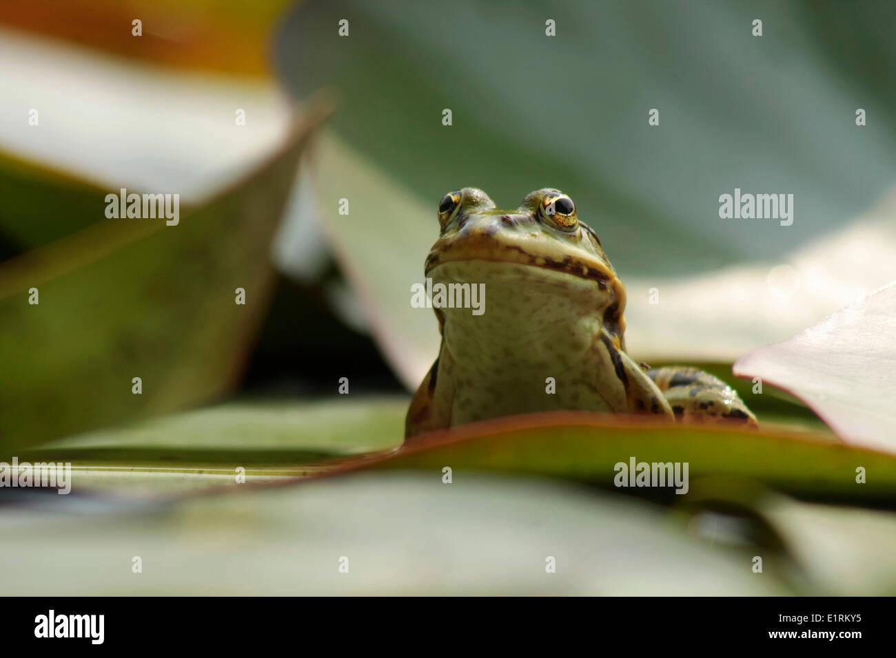 Green Frog or Edible Frog (Rana Esculenta) - Stock Image