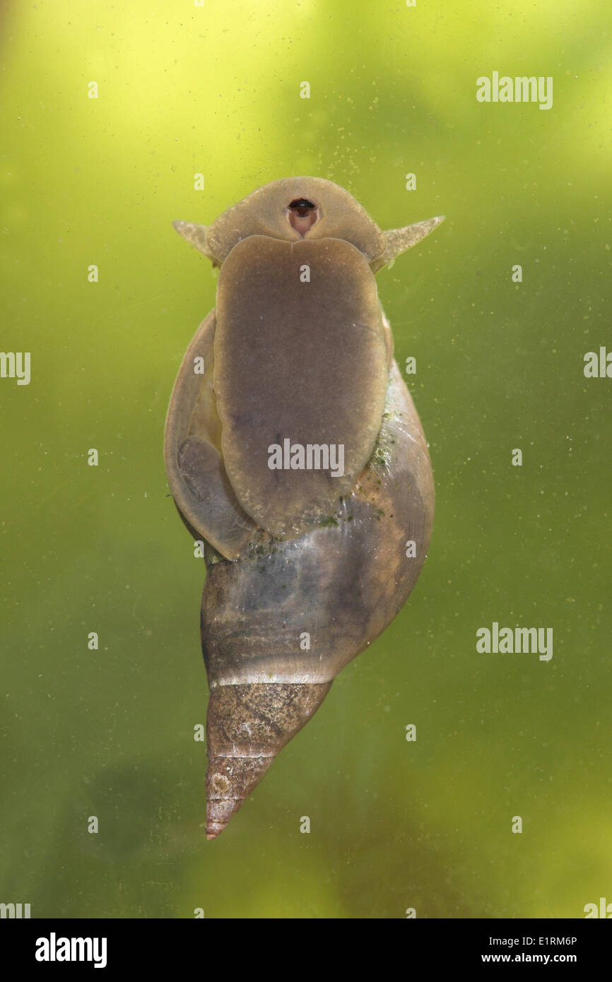 great pond snail photographed from bellow - Stock Image