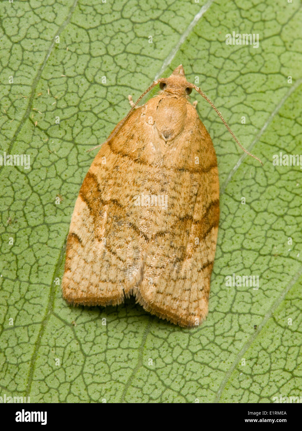 Barred Fruit-tree Tortrix (Pandemis cerasana) common member family Tortricidae larvae feed on number deciduous trees especially - Stock Image