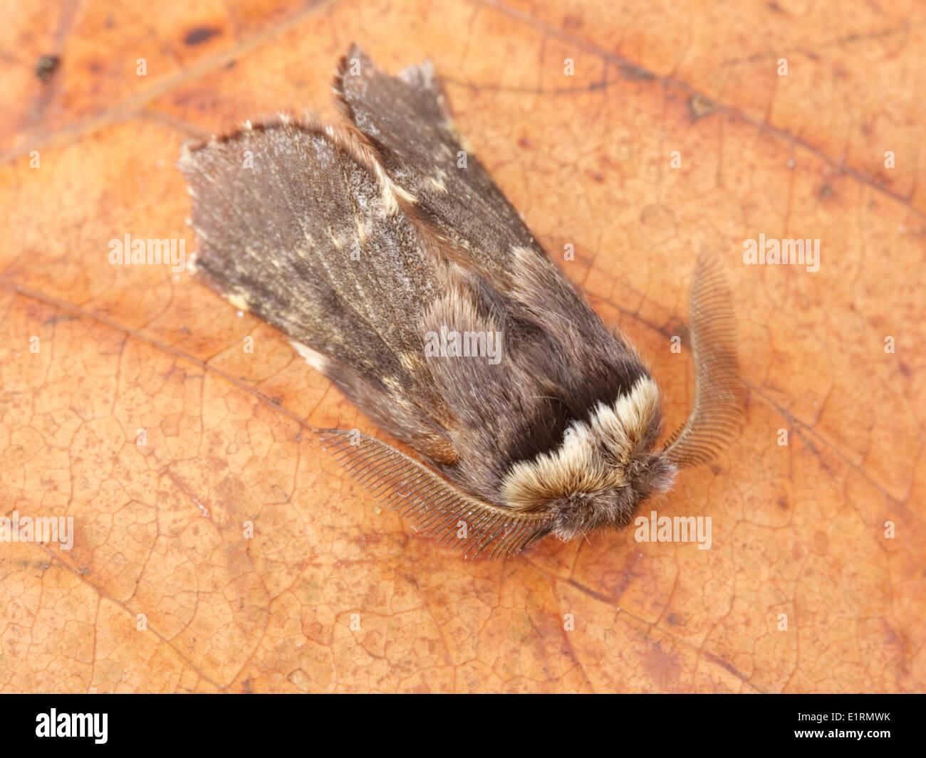 Male December Moth (Poecilocampa populi) resting. - Stock Image