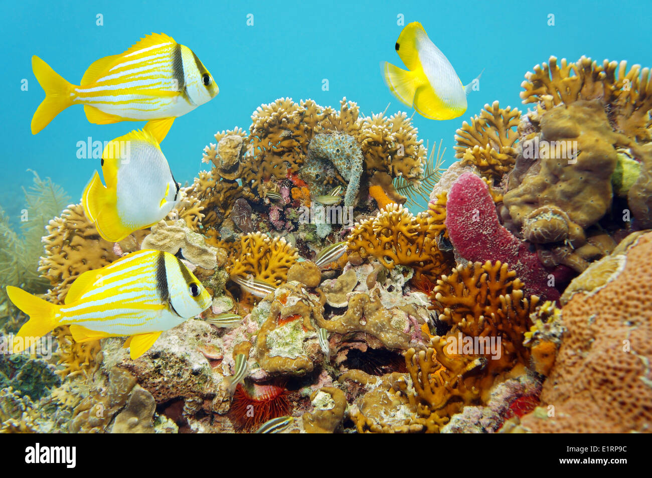 Coral reef scene with tropical fish - Stock Image