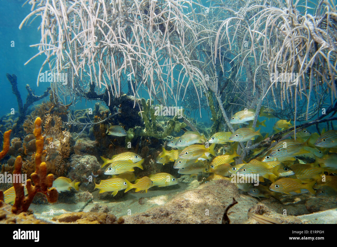 A shoal of grunt fish under gorgonian sea plume in a coral reef, Atlantic ocean - Stock Image