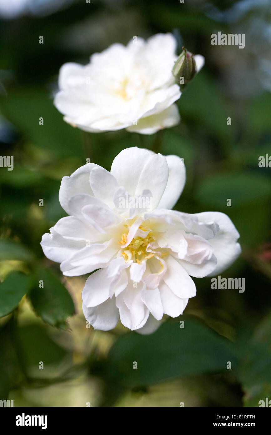 Rosa 'Snow Goose'. Rambling Rose in an English garden. - Stock Image