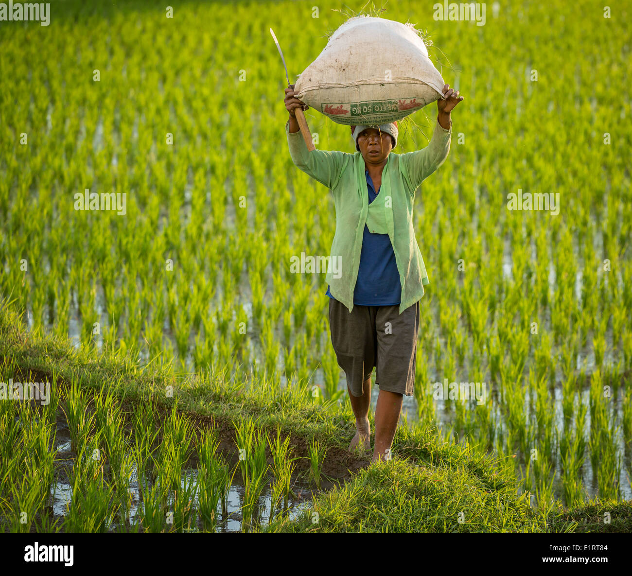Woman carrying rice in a rice field, Ubud region, Bali, Indonesia - Stock Image