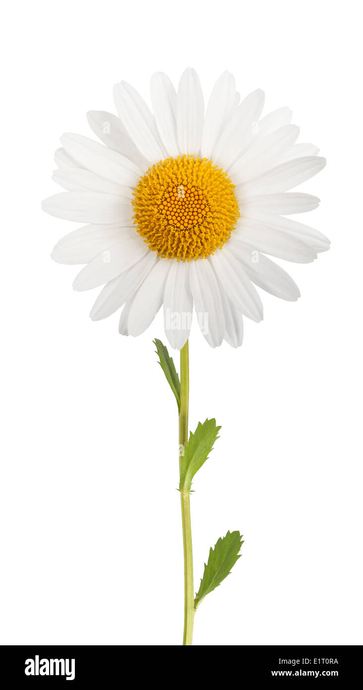 white daisy with stem isolated on white background stock photo