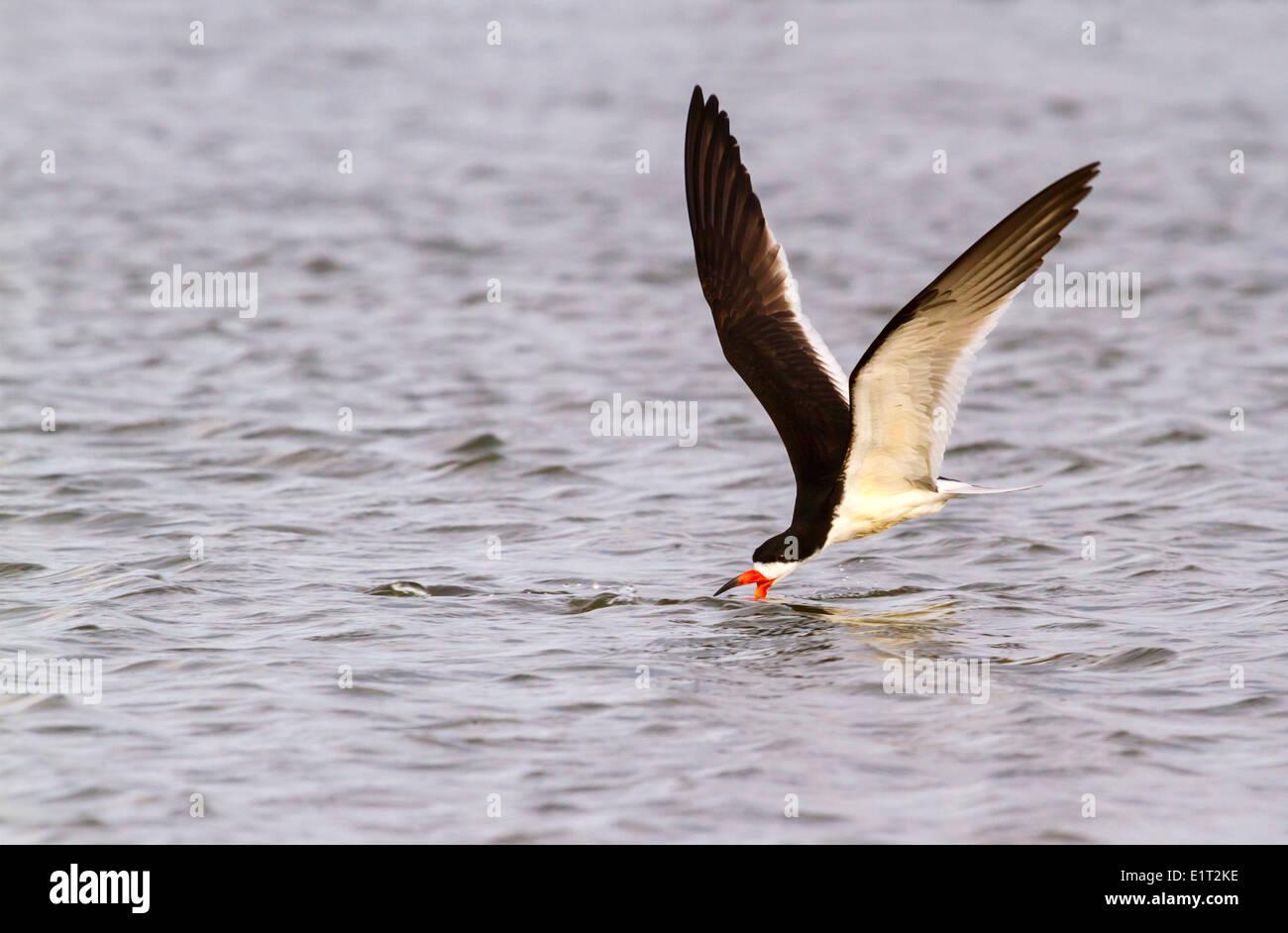 Black skimmer (Rynchops niger) fishing at sunrise along the shore, Galveston, Texas, USA. - Stock Image