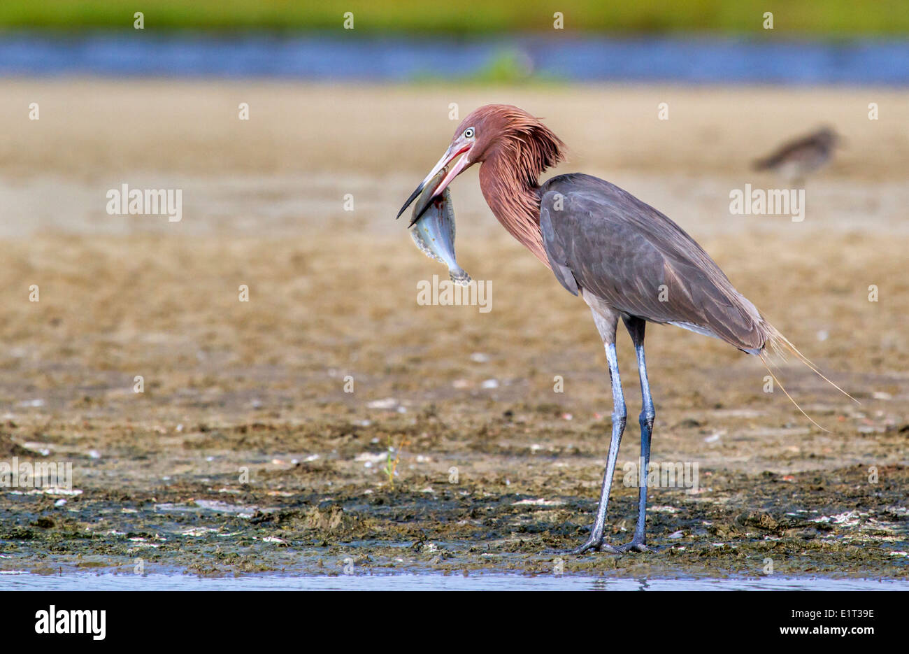 Reddish egret (Egretta rufescens) eating a morning catch – a flounder, Galveston, Texas, USA. - Stock Image