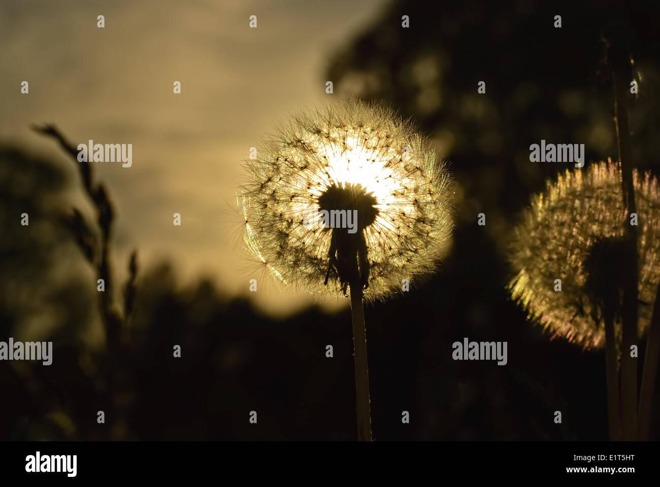 Sunny dandelion lit by the evening sun - Stock Image