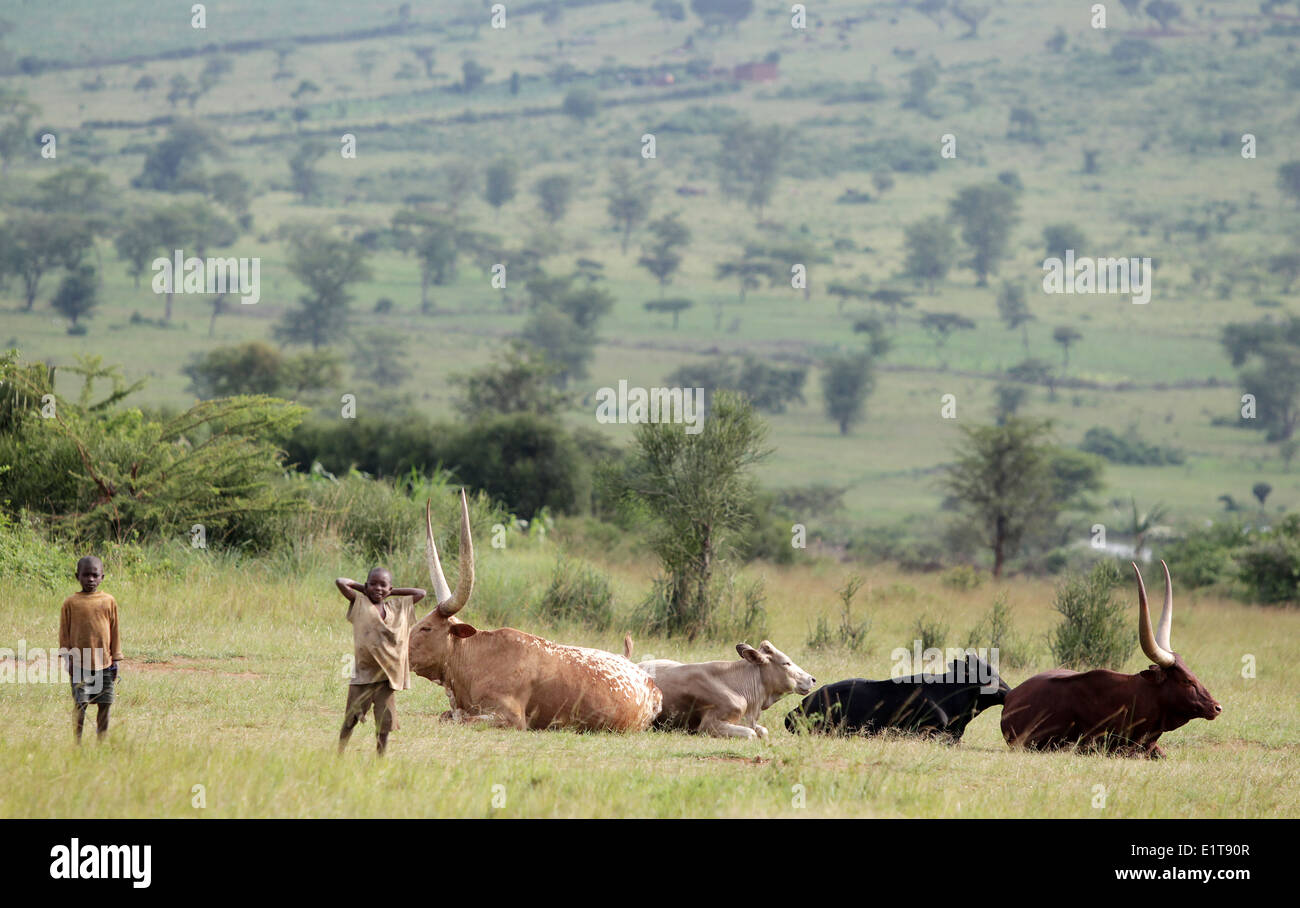 Young boys and cattle in the Nyagatare district of Rwanda Stock Photo