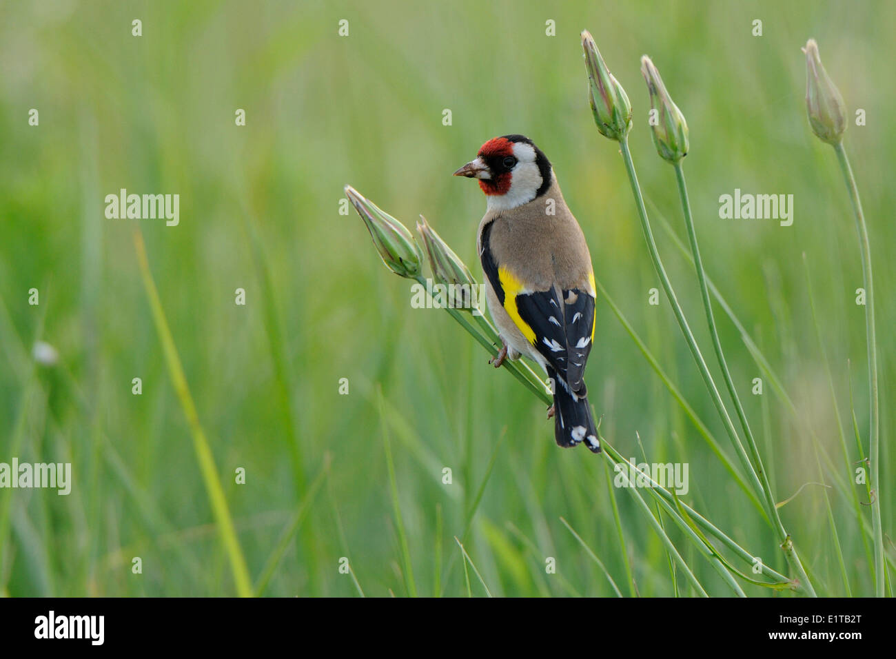 European Goldfinch foraging, backside view - Stock Image