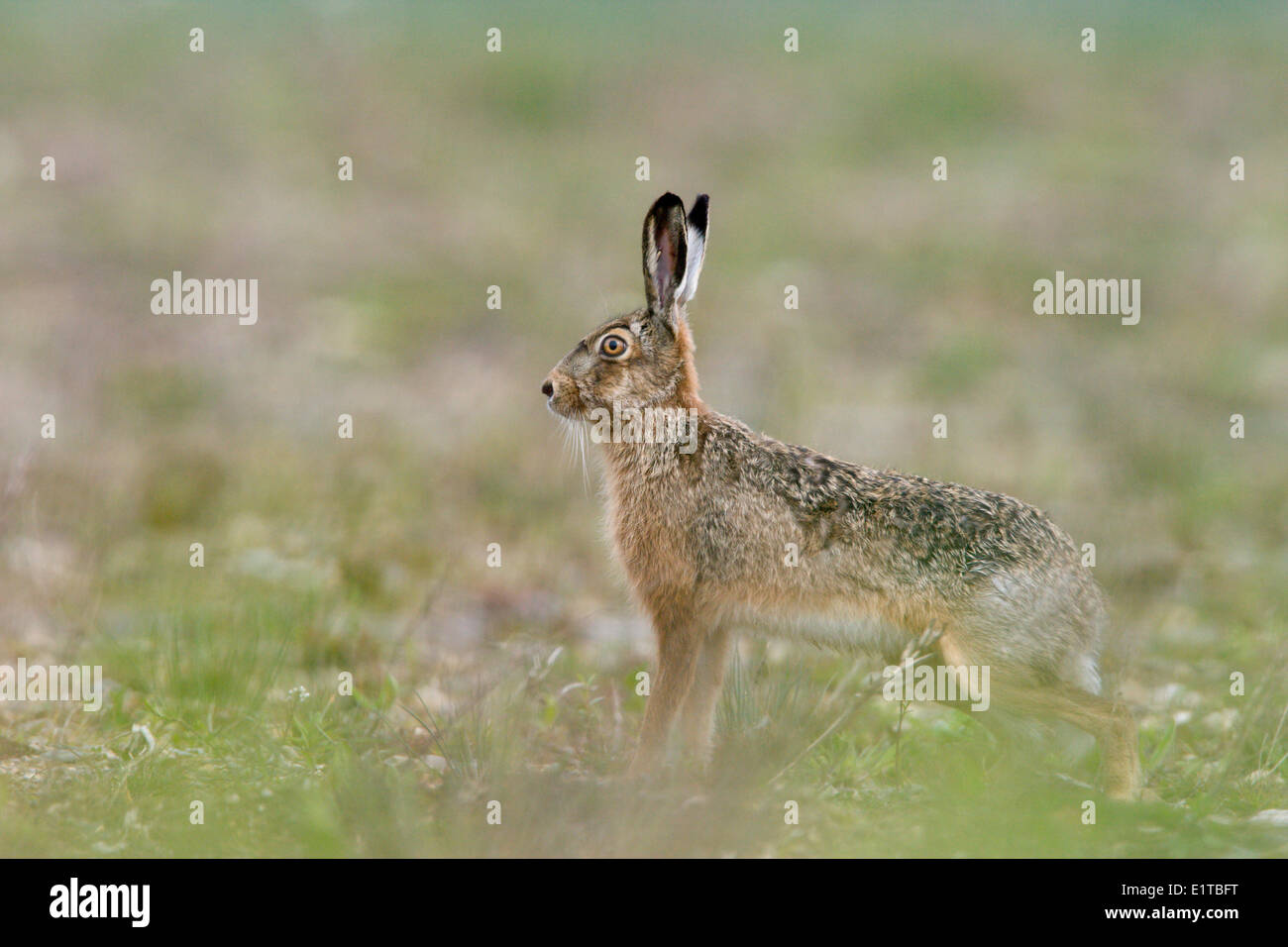 Cautious Hare - Stock Image