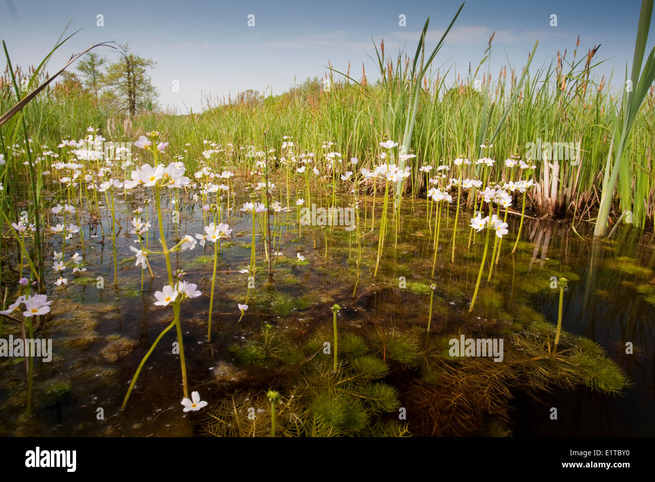 Flowering Water Violet or Featherfoil in a seepage water stream in nature reserve de Bruuk - Stock Image