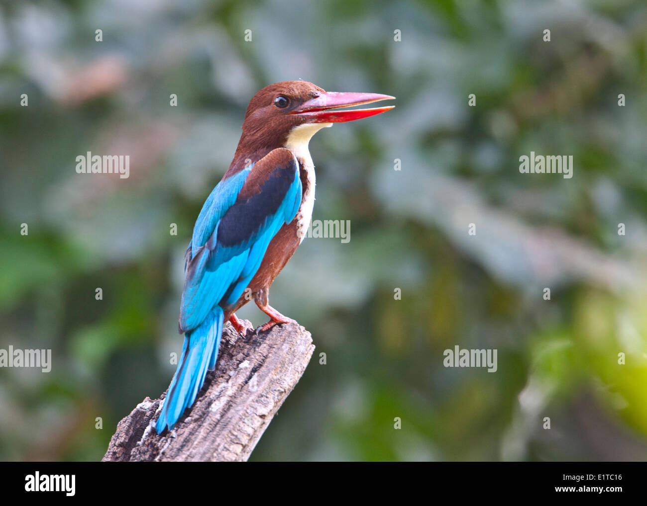 Portrait of White-throated (White-breasted) Kingfisher - Stock Image