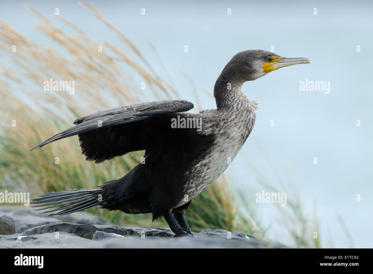 Drying Cormorant with his wings wide on the dam of the harbour of West Terschelling - Stock Image