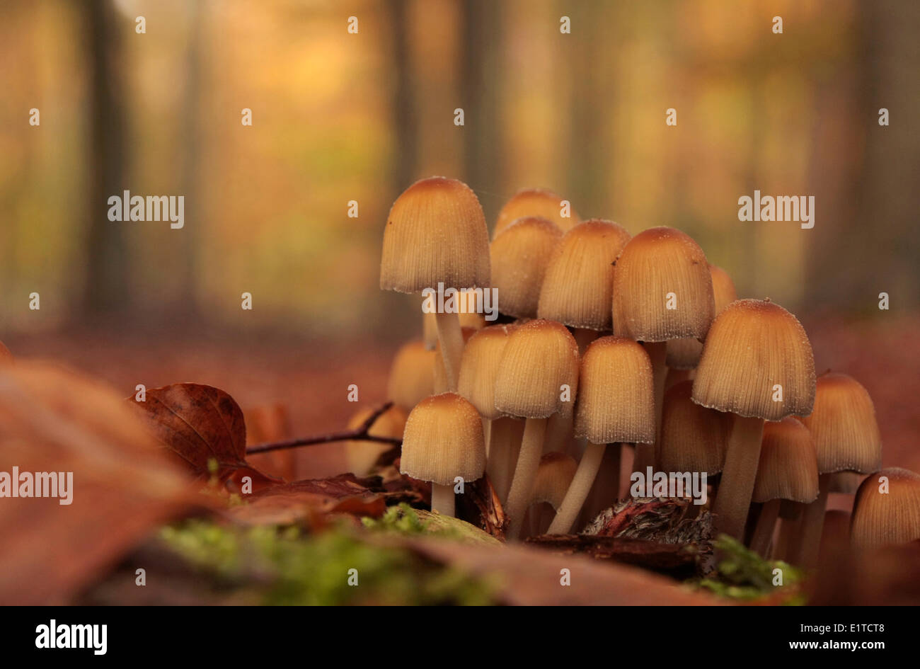 Glistening inkcap at a forest location - Stock Image