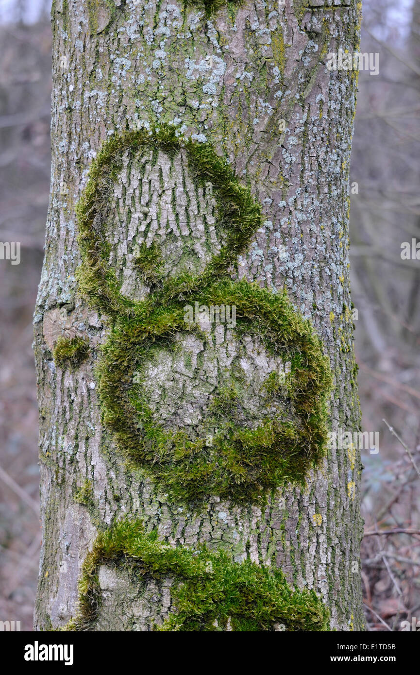 Moss is growing like the number eight on a tree - Stock Image