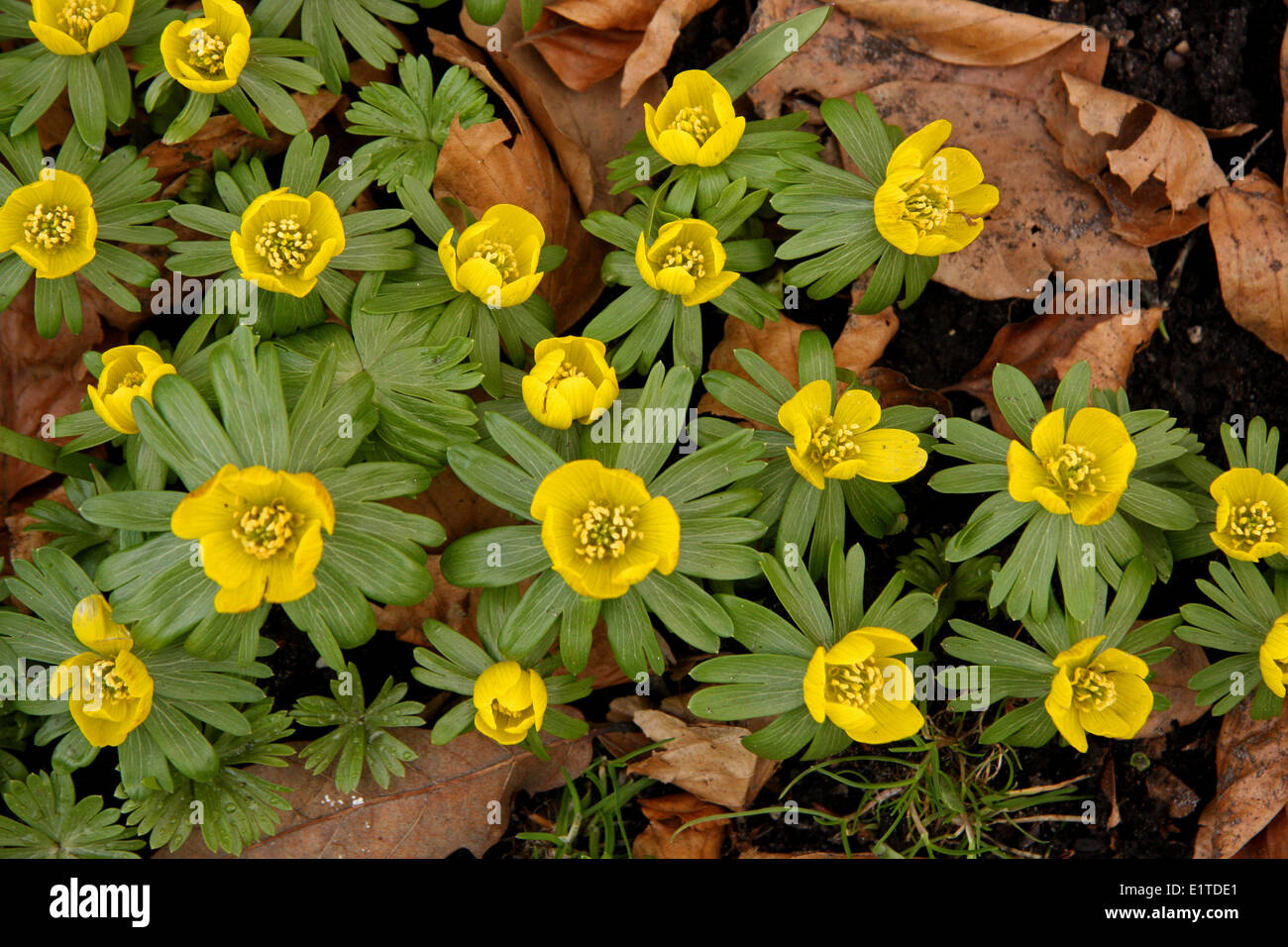 upper view of cluster of flowering specimens - Stock Image