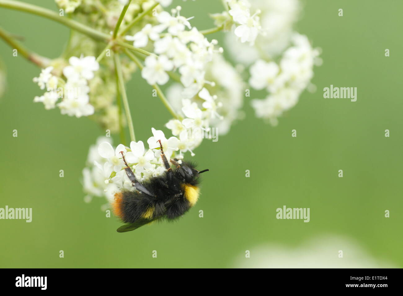 Early Bumblebee on Anthriscus sylvestris. - Stock Image