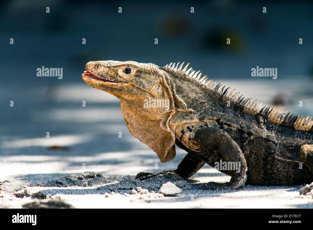 Black iguana Ctenosaura similis reptile Manuel Antonio National Park Costa Rica - Stock Image