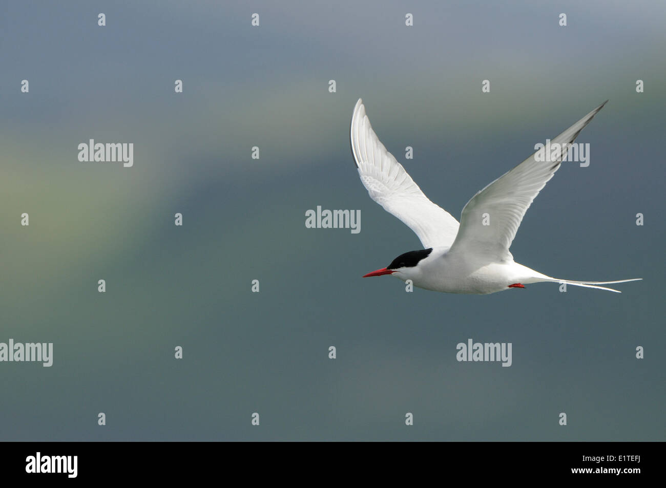 Arctic Tern in flight with a blueish grey background - Stock Image
