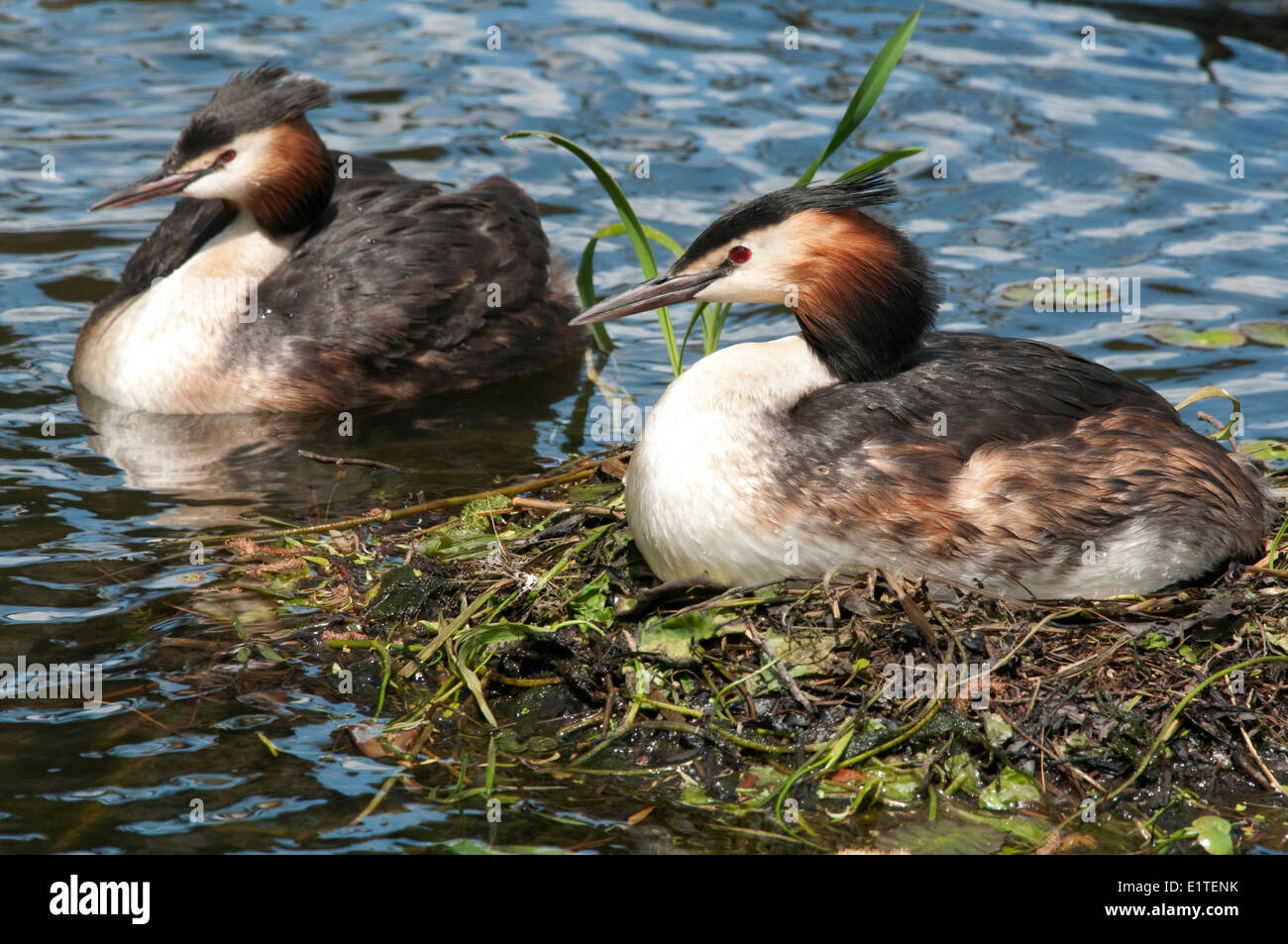 A couple Great Crested Grebes on their nest - Stock Image