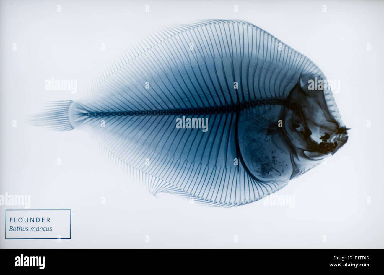 Flounder xray from museum, San Francisco, USA - Stock Image