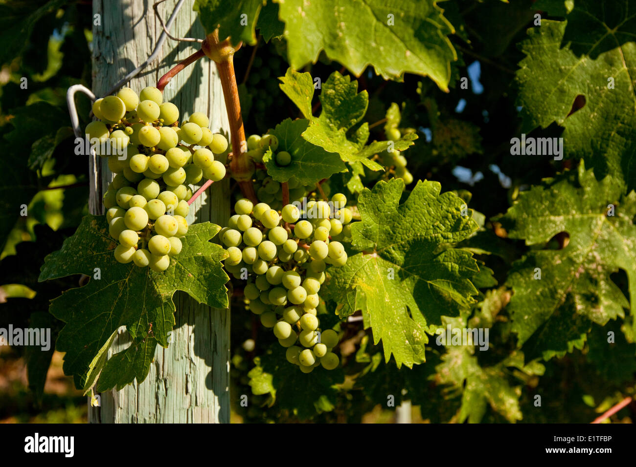 Young chardonnay grapes on vine, Meyer Family Vineyards, Okanagan Valley, British Columbia - Stock Image