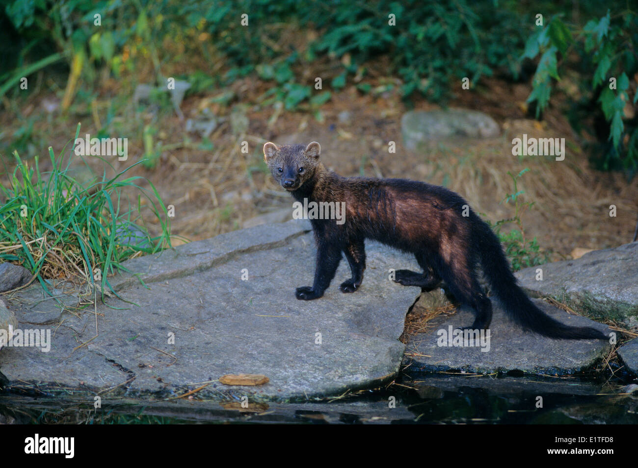 Fisher (martes pennanti) Adult, Ontario, Canada. - Stock Image