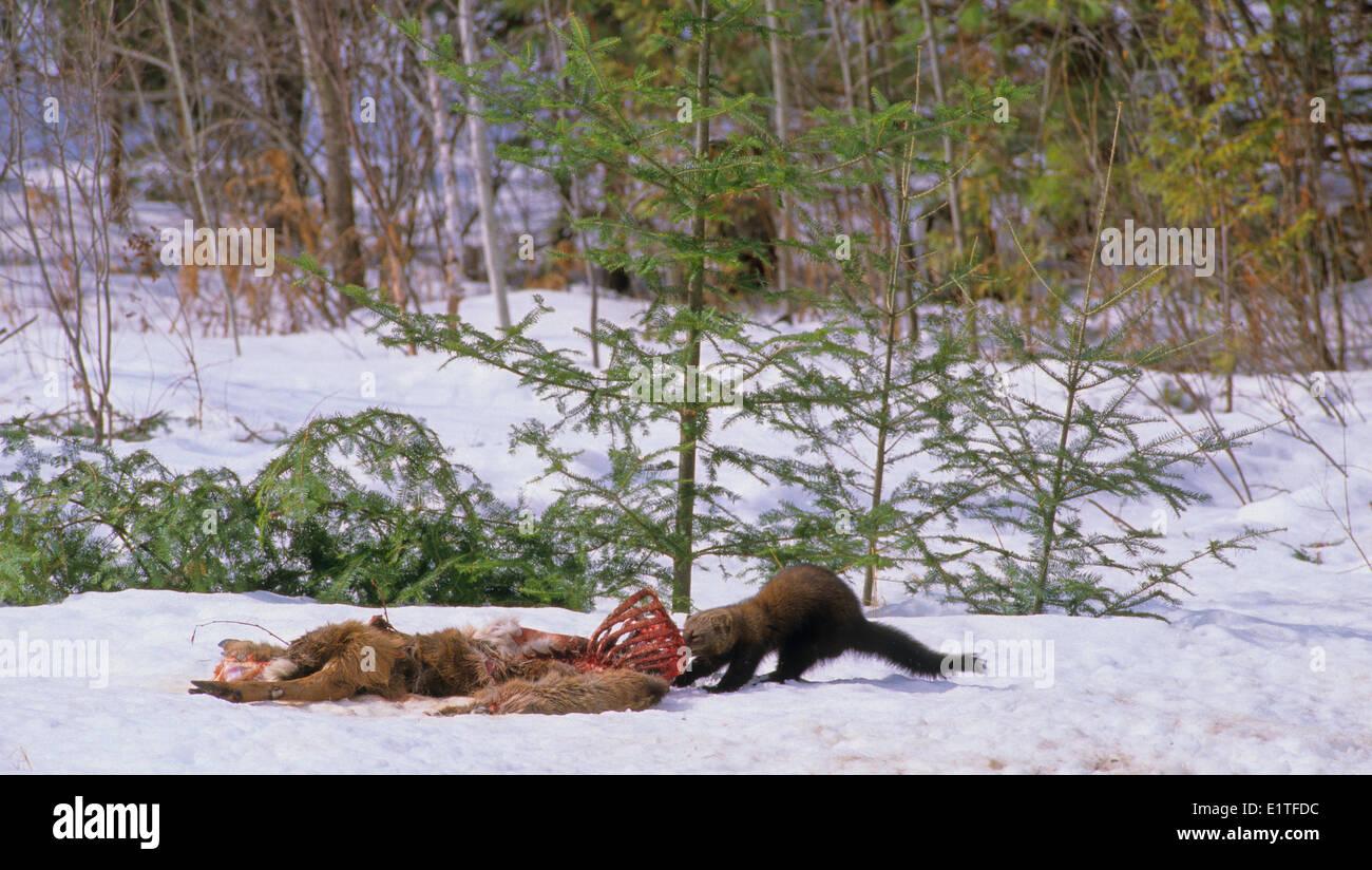 Fisher (martes pennanti) Adult dragging White-tailed Deer (Odocoileus virginianus) Ontario, Canada. - Stock Image