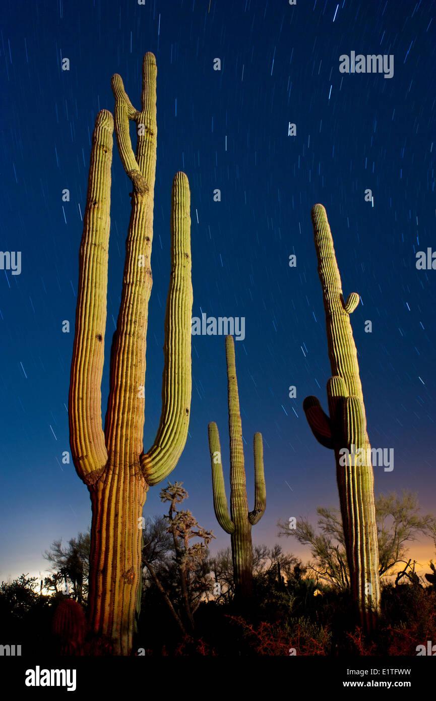 Saguaro cacti at night, Arizona. U.S.A. - Stock Image