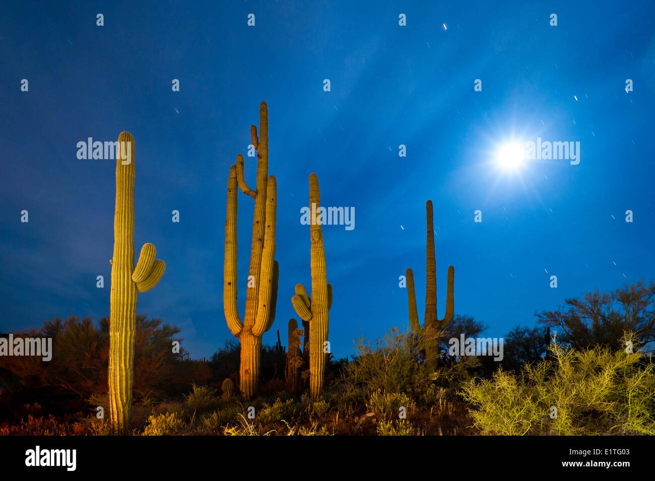 Saguaro cacti at night with setting moon, Arizona. U.S.A. - Stock Image