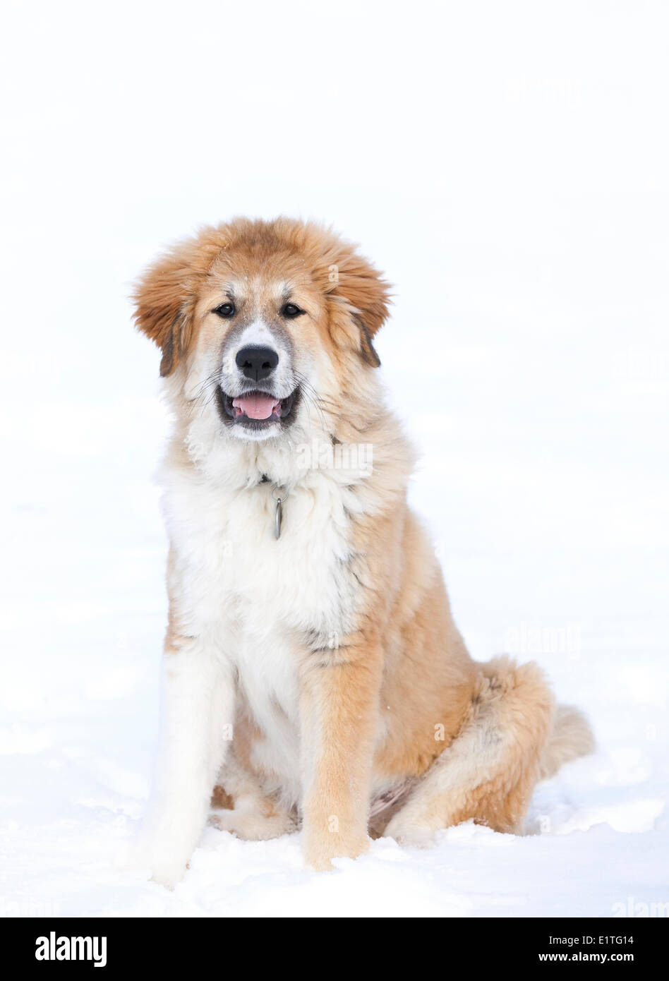 Portrait of a large Great Pyrenees puppy, (Pyrenean Mountain Dog), male, sitting in the snow - Stock Image