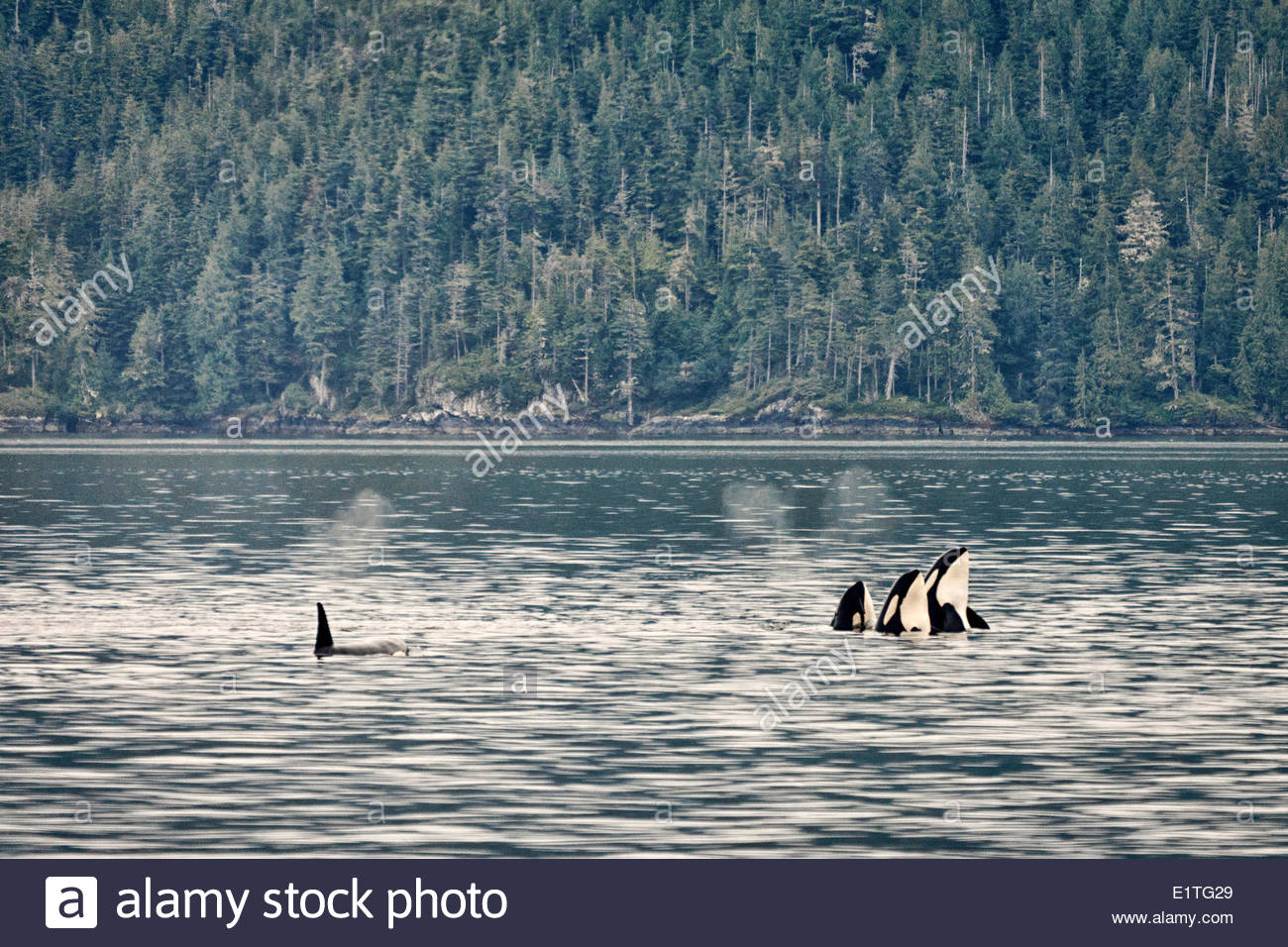Orcas, Orcinusorca, in the Johnstone Straight near Vancouver Island, British Columbia - Stock Image
