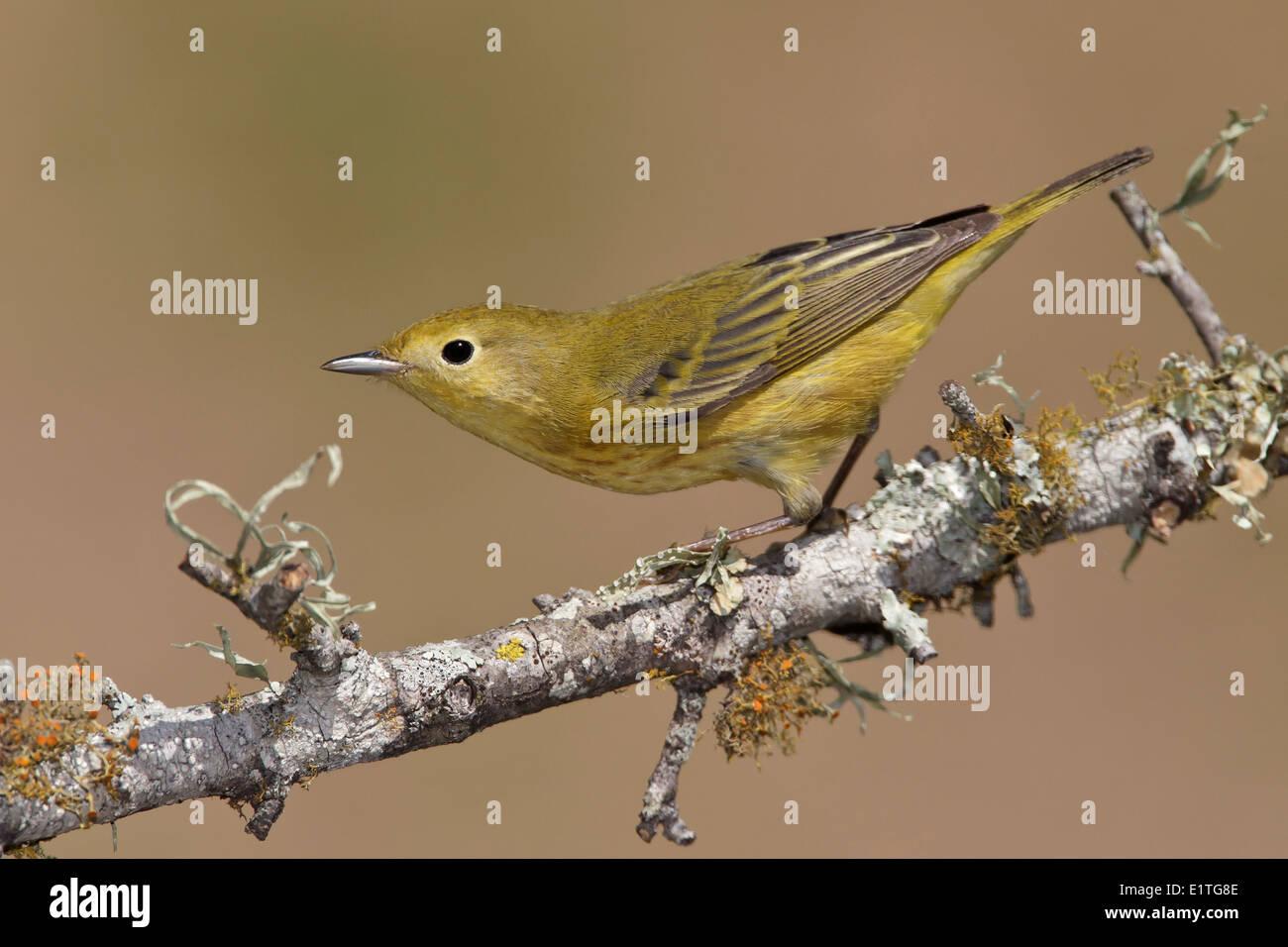 American Yellow Warbler - Setophaga petechia - Adult female Stock Photo