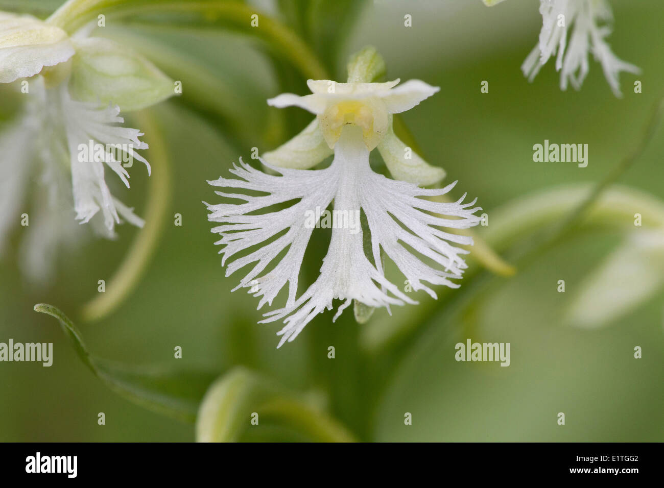 Ragged Fringed Orchid or Prairie White Fringed Orchid (Platanthera lacera) Skyline Trail Cape Breton Highlands National Park - Stock Image