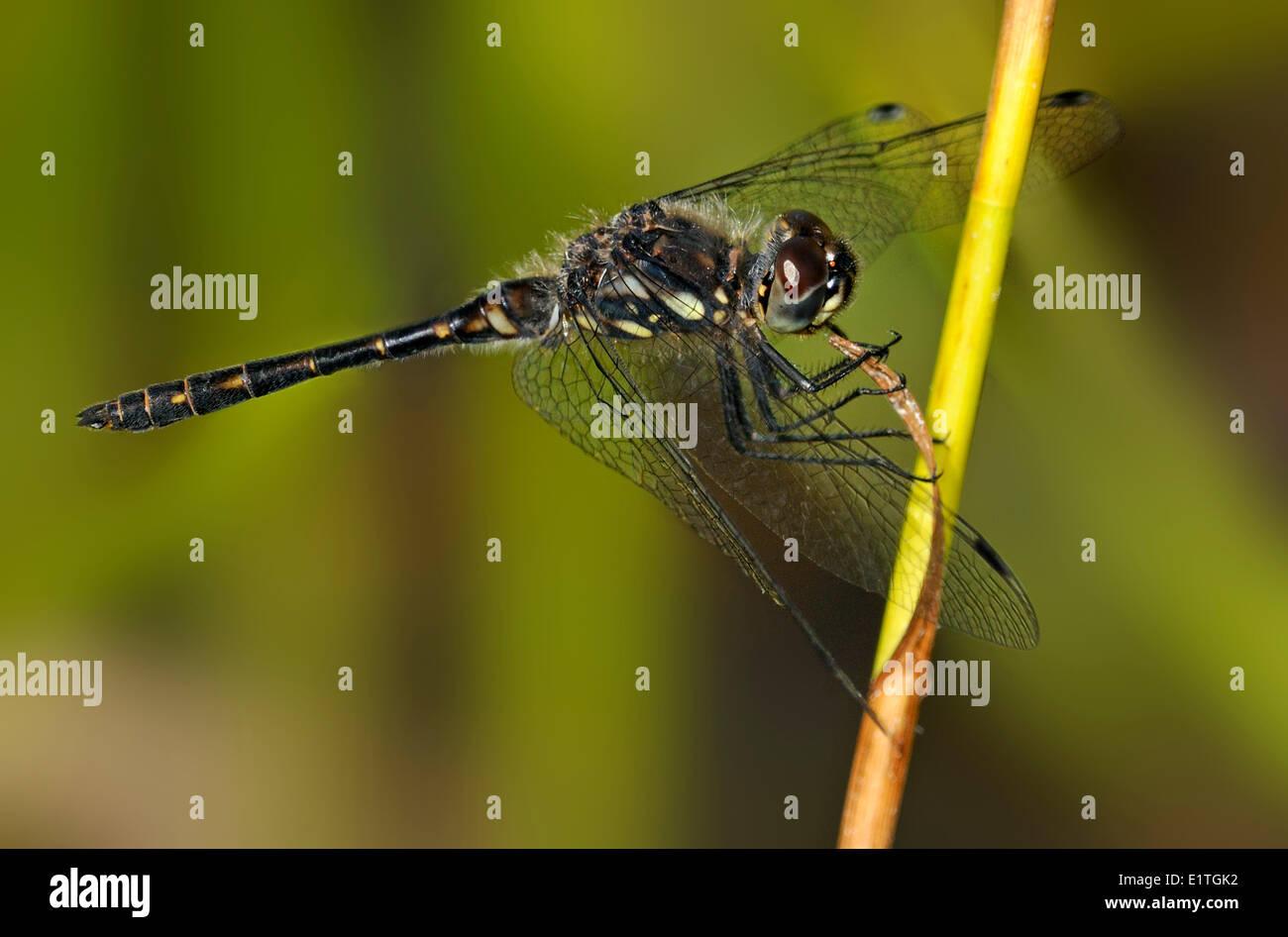 Black Meadowhawk (Sympetrum danae) at Bowser Bog, Bowser BC Stock Photo