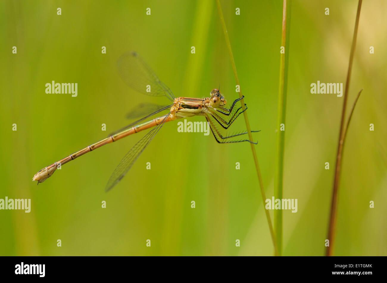 Lyre-tipped Spreadwing (Lestes unguicuatus) Saanich BC - Stock Image