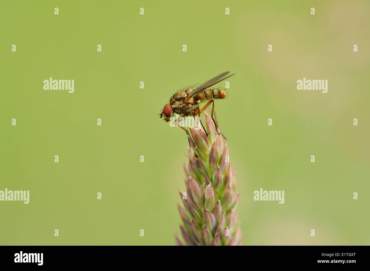 Root Maggot Fly, Anthomyiidae, Saanich BC - Stock Image