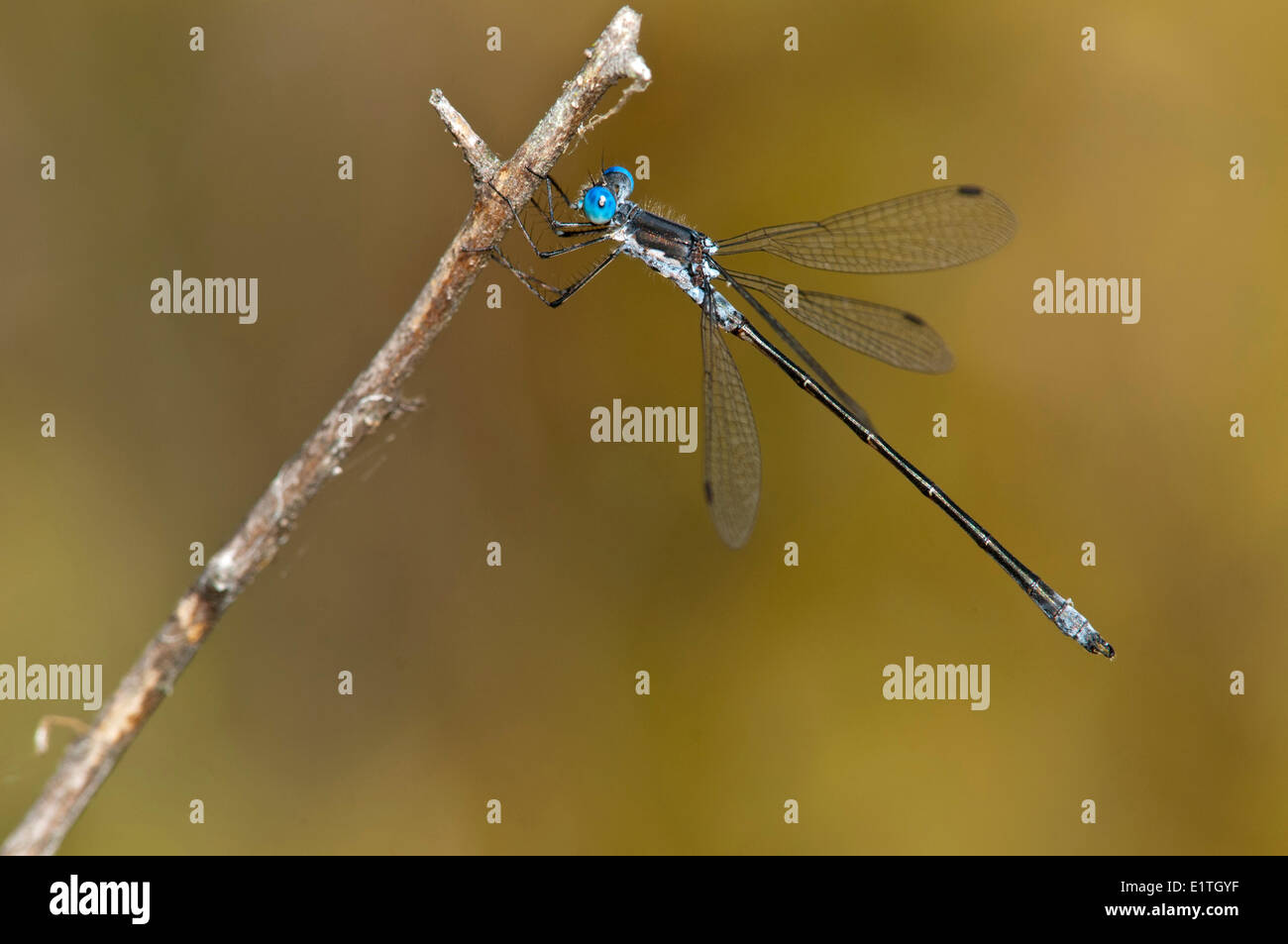 Male Spotted Spreadwing (Lestes congener) at Bowser Bog, Bowser BC - Stock Image
