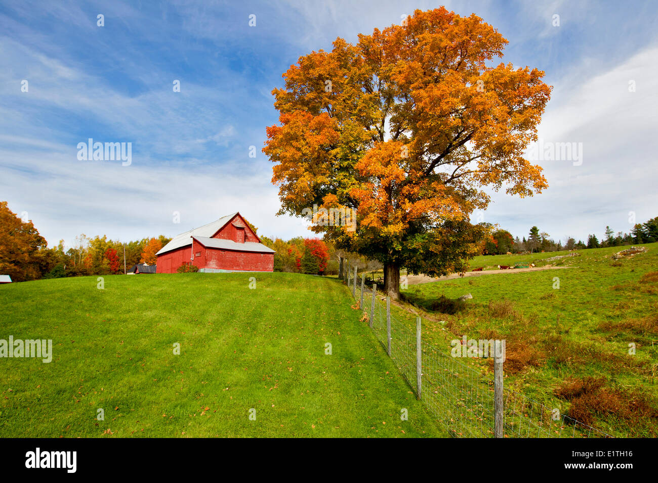 Red barn and Maple Tree in fall foliage, Queensbury, Saint John River, New Brunswick, Canada - Stock Image