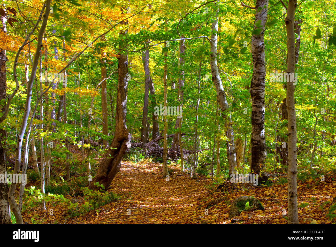 350 year old forest, Lone Shieling, Cape Breton Highlands National Park, Cape Breton, Nova Scotia, Canada - Stock Image